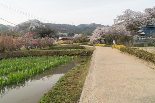 20160410朝の福島・花見山A7RII-1.jpg