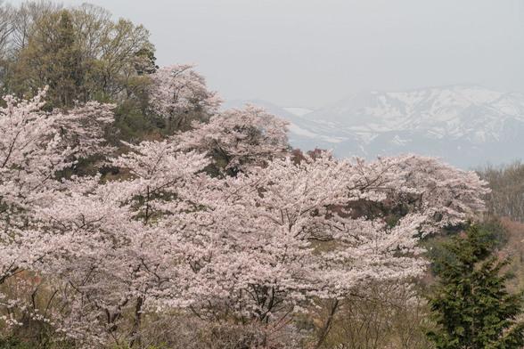 20160410朝の福島・花見山A7RII-119.jpg