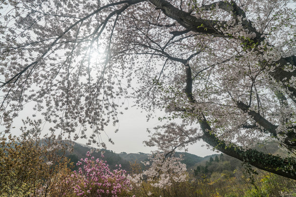 20160410朝の福島・花見山A7RII-86.jpg