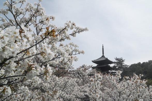 20150412朝の京都・仁和寺SD1-68.jpg